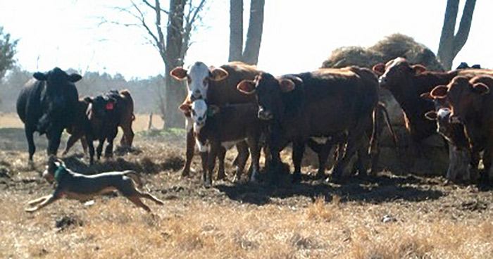 how to train a working dog for cattle