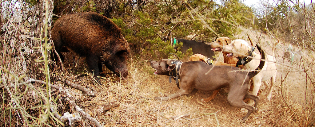 Catch Hog Hunting with Dogs