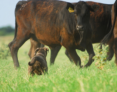 Blue Lacy facing a cow