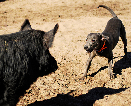 Blue Lacy baying a boar