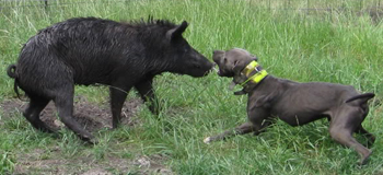 Blue Lacy baying a hog