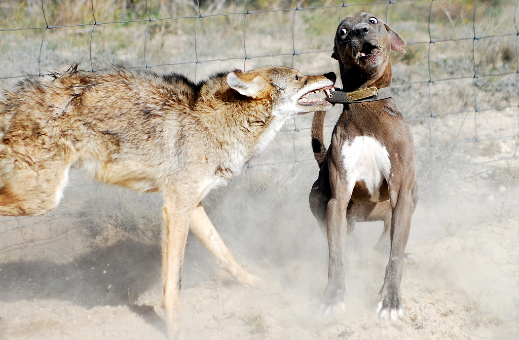 Lacy Dog versus coyote